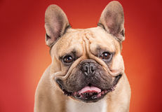 French bulldog  over red background Royalty Free Stock Photo
