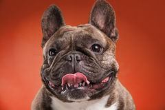 French bulldog  over red background Stock Image
