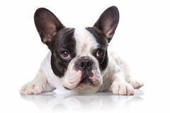 French bulldog over white Royalty Free Stock Photos