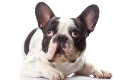 French bulldog over white. Royalty Free Stock Photography