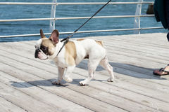 French Bulldog and owner. French Bulldog on a leash. Dog is walking near the sea and lead. Owner follow their dog Royalty Free Stock Photos