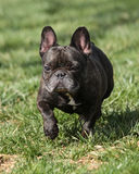 French bulldog at the park Stock Photography