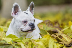 French bulldog in the park. French bulldog playing in the park Stock Images