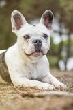 French bulldog in the park Royalty Free Stock Image
