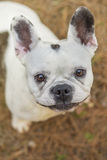 French bulldog in the park. French bulldog portrait in the park Royalty Free Stock Photos