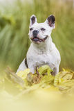French bulldog in the park. French bulldog portrait in the park Royalty Free Stock Images