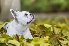 French bulldog in the park. French bulldog sitting in the park Royalty Free Stock Photo