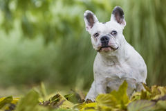 French bulldog in the park. French bulldog sitting in the park Royalty Free Stock Photos