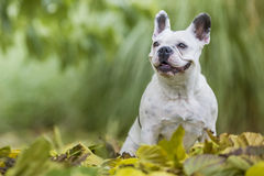 French bulldog in the park. French bulldog sitting in the park Royalty Free Stock Photography
