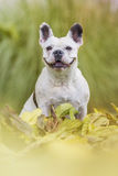 French bulldog in the park. French bulldog sitting in the park Stock Images