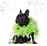 French Bulldog partying Stock Photos