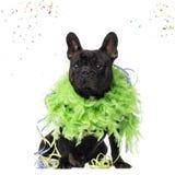 French Bulldog partying Royalty Free Stock Photo