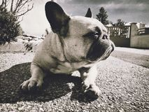 Artistic picture of a french bulldog royalty free stock photo