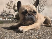 French bulldog taking the pose royalty free stock photography