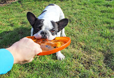 French bulldog playing dog toy Stock Photography