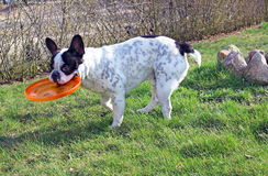 French bulldog playing dog toy Royalty Free Stock Images