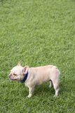 French bulldog playing in grass field Stock Photo