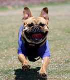 French Bulldog playing in the park. A happy French Bulldog running in the park stock images