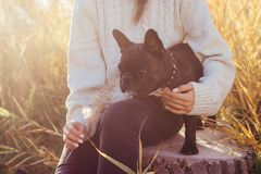French bulldog plays with a cane stock photography