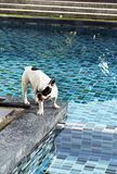 French bulldog at pool side Stock Photography