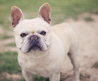 French Bulldog Portrait. French Bulldog Outdoor Portrait - bulldog standing at the park posing for an outdoor portrait stock image