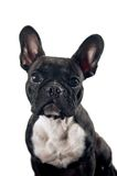 French bulldog portrait Royalty Free Stock Image