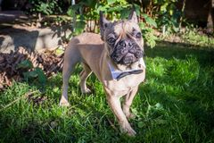 French Bulldog portrait. A beautiful French Bulldog dog head portrait with cute expression in the wrinkled face standing and watching other dogs in the park Stock Photo