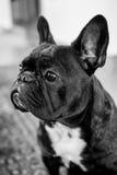 French Bulldog. Portrait of a french bulldog in black & white Stock Photos