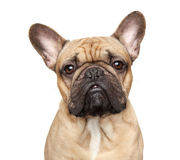 French bulldog portrait Stock Images