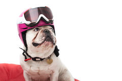 French bulldog. Portrait of French bulldog isolated on white background wearing ski helmet royalty free stock photos
