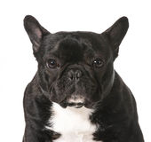 French bulldog Stock Photography