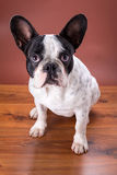 French bulldog portrait Royalty Free Stock Photos