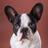 French bulldog portrait Stock Photography