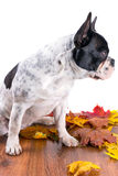 French bulldog portrait over white Royalty Free Stock Photos