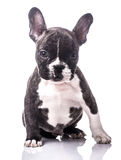 French bulldog portrait puppy. Young dog portrait on white Royalty Free Stock Photos