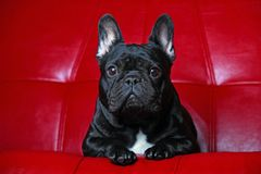 French Bulldog Portrait red Background studio. Quality Royalty Free Stock Photos