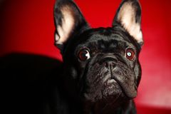 French Bulldog Portrait red Background studio royalty free stock image