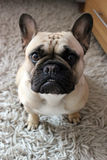 French bulldog portrait. French bulldog sat on a rug Stock Photo