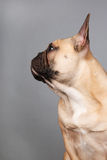 French bulldog Royalty Free Stock Photography