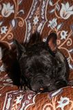 French Bulldog Portrait vintage Background studio stock photo