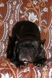 French Bulldog Portrait vintage Background studio royalty free stock photos