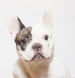 French bulldog portrait on  white Stock Photography