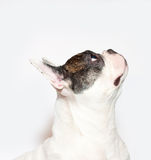 French bulldog portrait on  white Royalty Free Stock Images