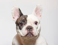 French bulldog portrait on  white Royalty Free Stock Photo