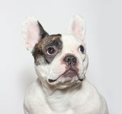 French bulldog portrait on  white Royalty Free Stock Photography