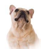 French bulldog Royalty Free Stock Image