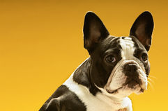 French Bulldog. Portrait of French bulldog on yellow background stock images