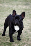 French Bulldog Posing. French Bulldog Outdoor Portrait - bulldog standing at the park posing for an outdoor portrait stock photos