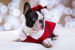French bulldog posing in Christmas outfit Stock Photography