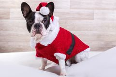 French bulldog posing in Christmas outfit Royalty Free Stock Photography